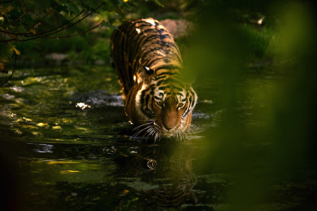 Reisefotografie - Tiger
